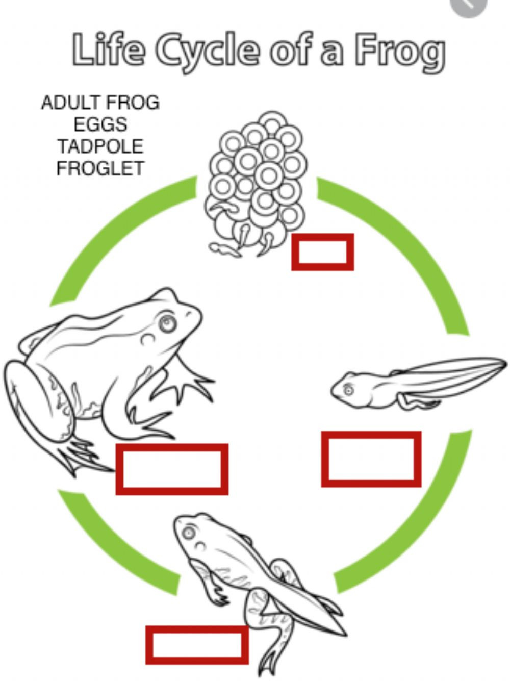 Amphibian Worksheets for Second Grade Life Cycle Of A Frog Interactive Worksheet