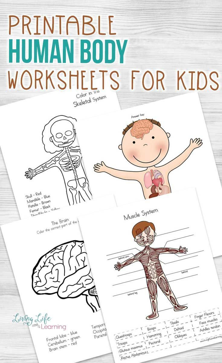Human Body Worksheets Middle School Human Body Worksheets for Kids Science Activity Fast Math