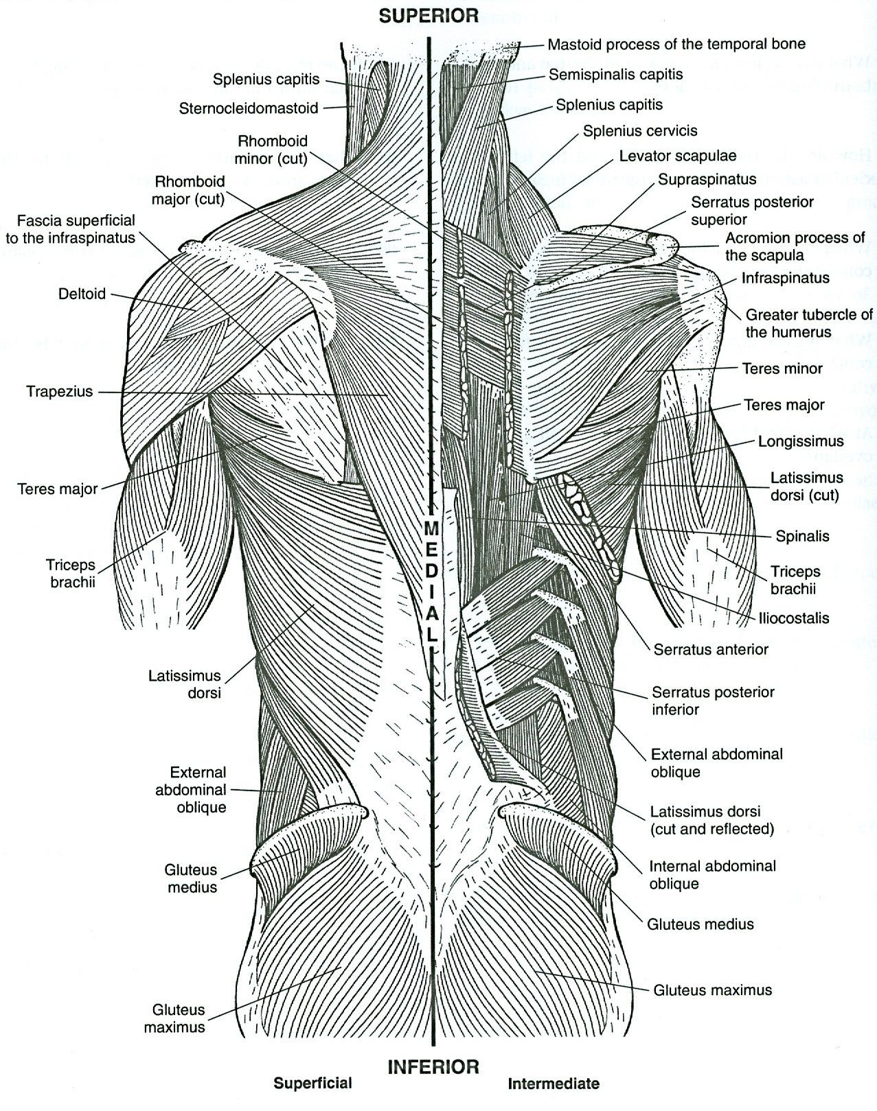 Printable Muscle Diagram Anatomy Coloring Pages Incredible Muscle Printable Free