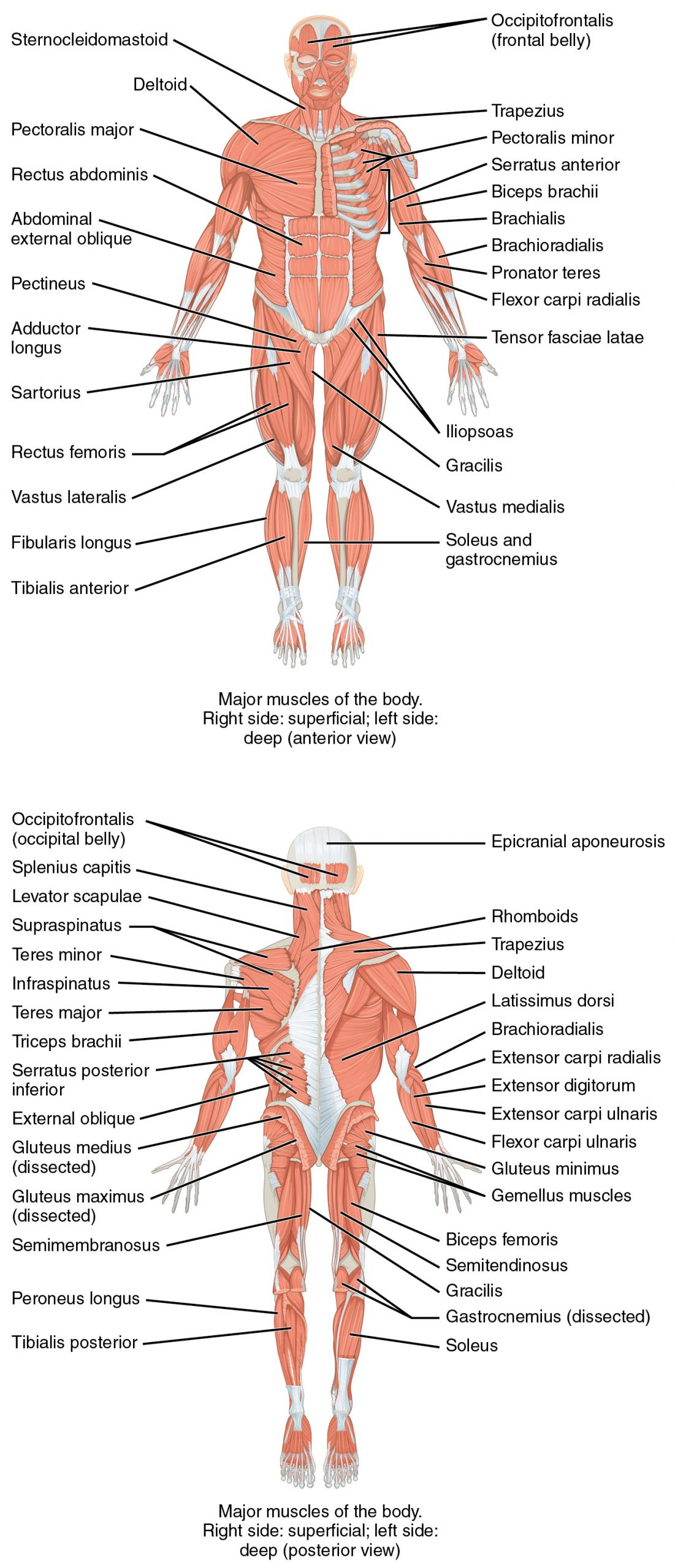 Printable Muscle Diagram Excelent Anatomyoring Pages Muscles Image Inspirations