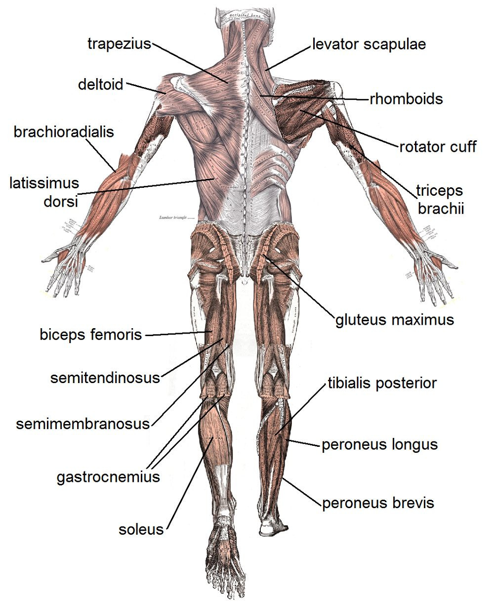 Printable Muscle Diagram Human Muscles Labeled Human Muscles Labeled Human Muscle