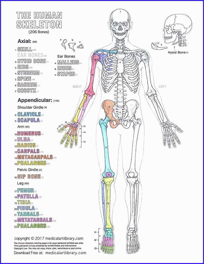 Printable Muscle Diagram Remarkable Freeatomy Coloring Pages Inspirations