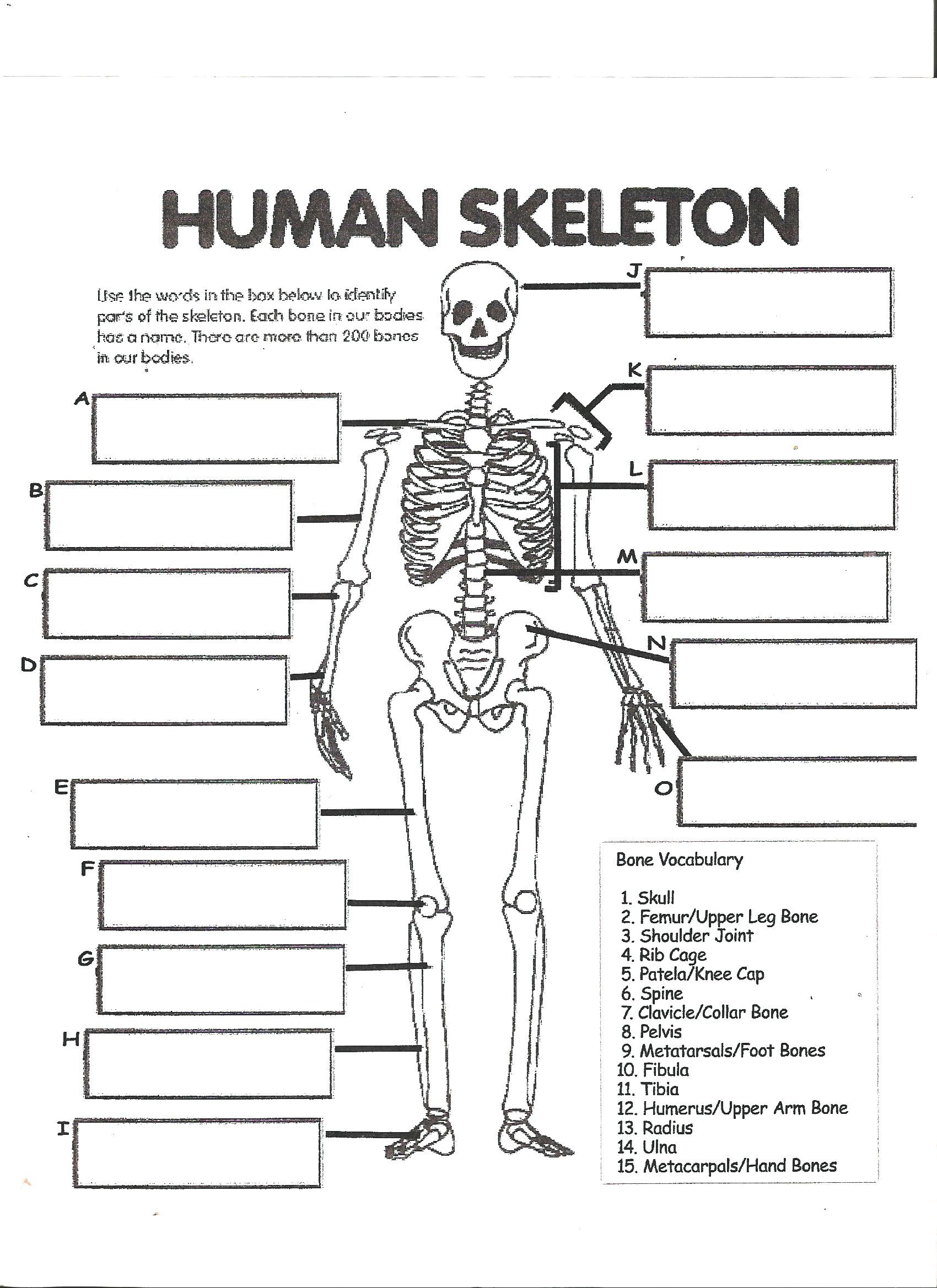 Printable Anatomy Labeling Worksheets Digestive System Labeling Worksheet Answers Human Skeleton