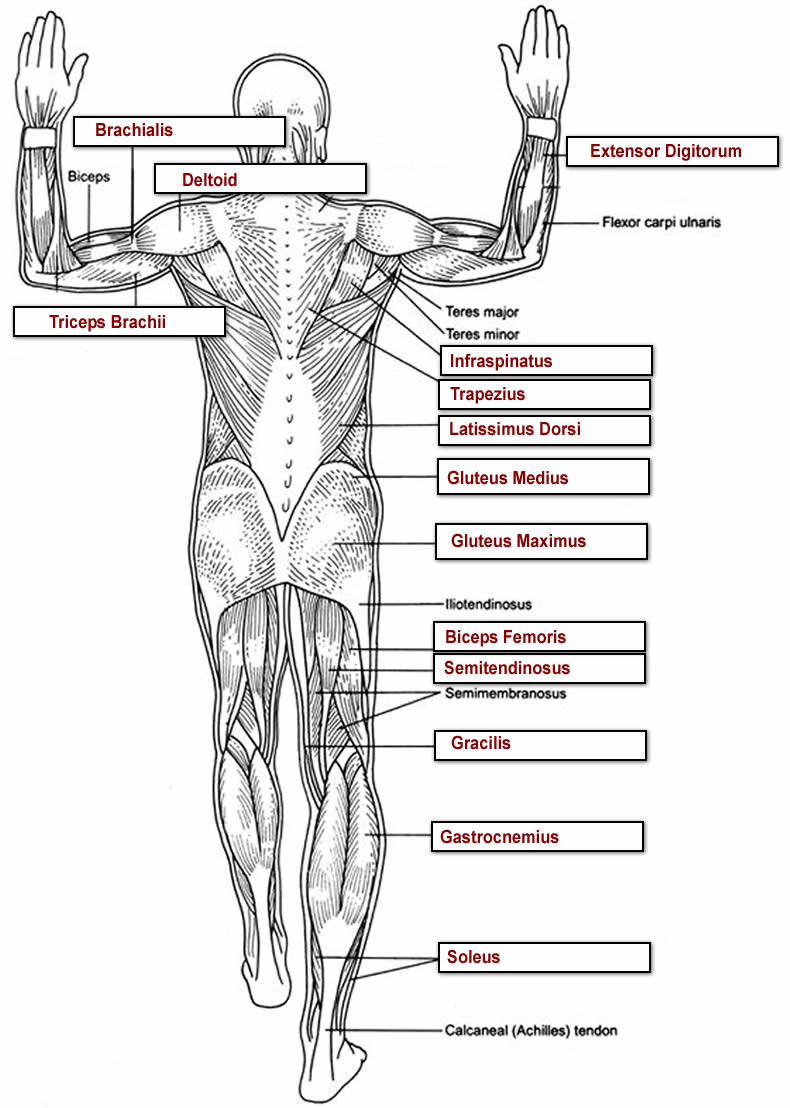 Printable Anatomy Worksheets Muscles Labeling Full Body Anatomy Worksheets Overall Label2